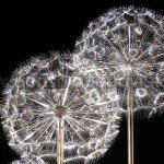 Den soi quang trang tri ngoai troi hoa bo cong anh 11 150x150 - ĐÈN SỢI QUANG HOA BỒ CÔNG ANH